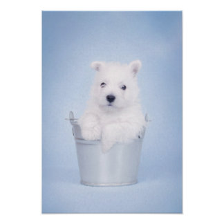 West Highland White Terrier puppy Posters