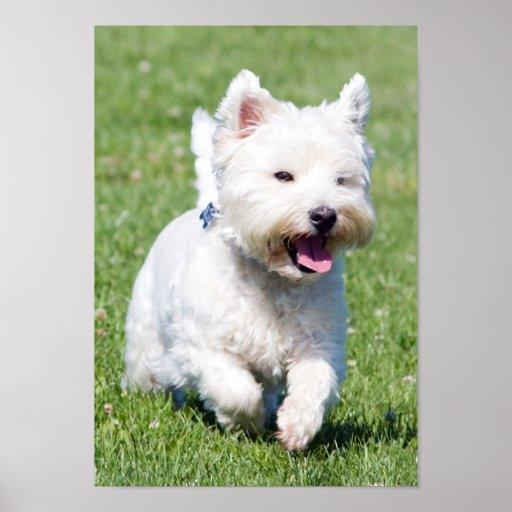 West Highland White Terrier, west dog cute photo Print