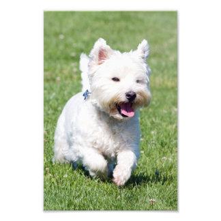 West Highland White Terrier, westie dog cute photo