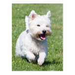 West Highland White Terrier, westie dog cute photo Post Card
