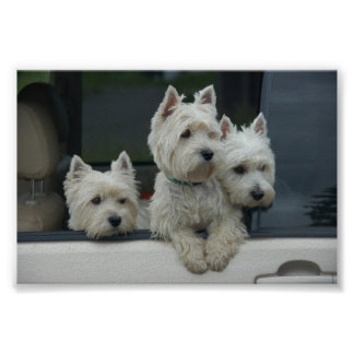 West Highland White Terriers Posters