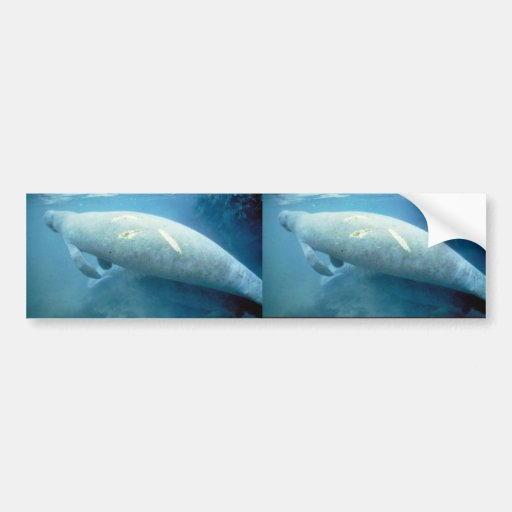 West Indian manatee Bumper Stickers