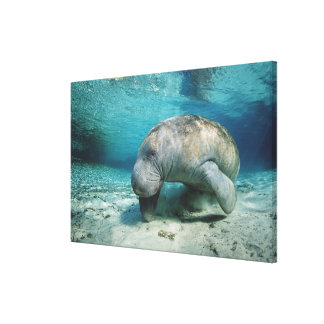 West Indian Manatee Canvas Print