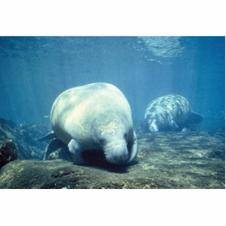 West Indian manatee Cut Out