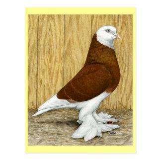 West of England Tumbler Red Baldhead Postcard