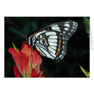 Western admiral on red Indian paintbrush flower Greeting Card