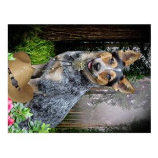 Western Australian Cattle Dog Apparel & Gifts Postcard