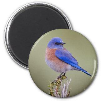Western Bluebird 2 Inch Round Magnet