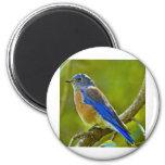 Western Bluebird Fridge Magnet