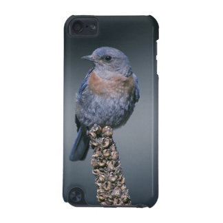 Western Bluebird iPod Touch 5G Cover