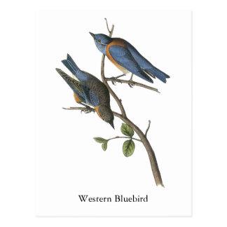 Western Bluebird, John Audubon Post Card