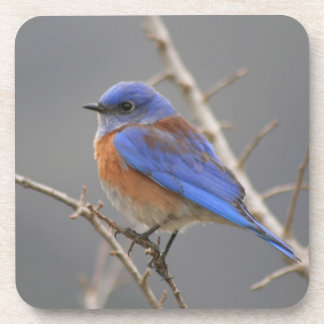 Western Bluebird Perching Coaster