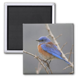 Western Bluebird Perching 2 Inch Square Magnet