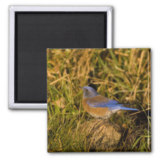 Western bluebird, Sialia mexicana, adult male 2 Inch Square Magnet