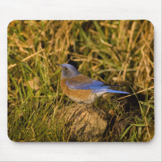 Western bluebird, Sialia mexicana, adult male Mouse Pad