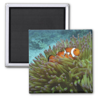 Western Clownfish ( Amphiprion ocellaris ), in 2 Inch Square Magnet
