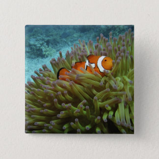 Western Clownfish ( Amphiprion ocellaris ), in Button