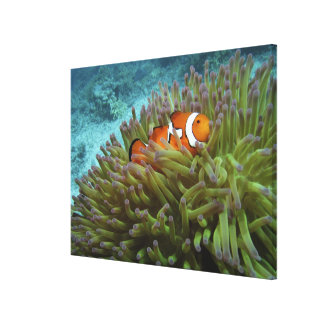 Western Clownfish ( Amphiprion ocellaris ), in Canvas Print