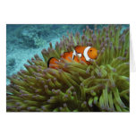 Western Clownfish ( Amphiprion ocellaris ), in Greeting Card