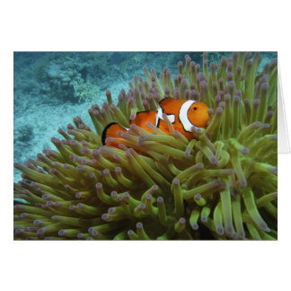 Western Clownfish ( Amphiprion ocellaris ), in Card