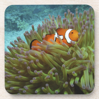 Western Clownfish ( Amphiprion ocellaris ), in Beverage Coaster