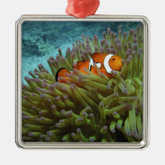 Western Clownfish ( Amphiprion ocellaris ), in Metal Ornament