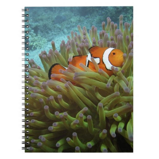 Western Clownfish ( Amphiprion ocellaris ), in Notebooks