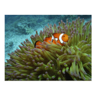 Western Clownfish ( Amphiprion ocellaris ), in Postcard