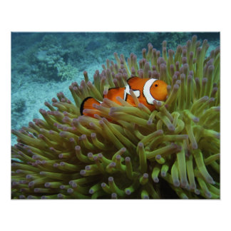 Western Clownfish ( Amphiprion ocellaris ), in Poster