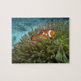 Western Clownfish ( Amphiprion ocellaris ), in Puzzle
