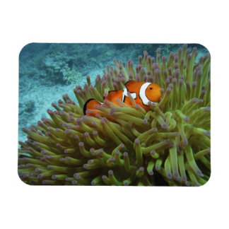 Western Clownfish ( Amphiprion ocellaris ), in Rectangular Photo Magnet