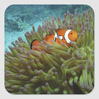 Western Clownfish ( Amphiprion ocellaris ), in Square Sticker