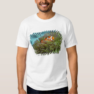 Western Clownfish ( Amphiprion ocellaris ), in T-Shirt
