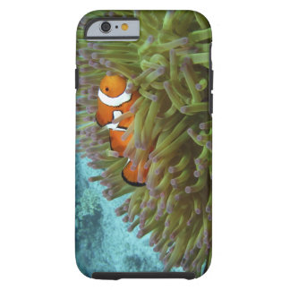 Western Clownfish ( Amphiprion ocellaris ), in Tough iPhone 6 Case
