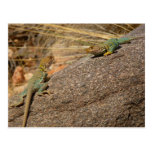 Western Collared Lizards in Colorado Postcard