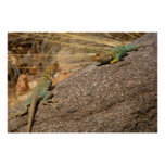Western Collared Lizards in Colorado Poster