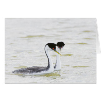 Western Grebe courtship Card