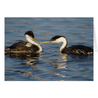 Western Grebe Father feeding chick on mothers back Card