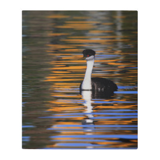 Western Grebe in Shiny Colorful Water Metal Print