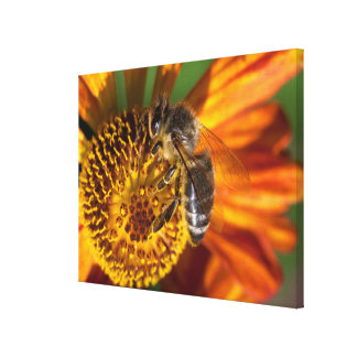 Western Honey Bee Macro Photo Canvas Print