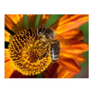 Western Honey Bee Macro Photo Postcard