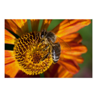 Western Honey Bee Macro Photo Poster