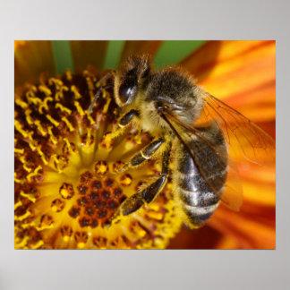 Western Honey Bee Macro Photo Poster