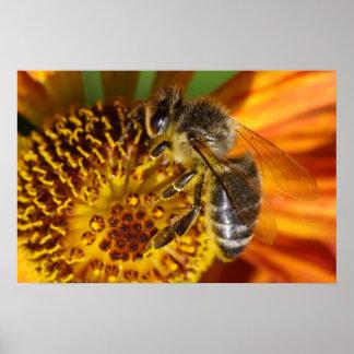 Western Honey Bee Macro Poster