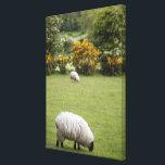 """Western Ireland, a full fleeced black-faced Canvas Print<br><div class=""""desc"""">Western Ireland,  a full fleeced black-faced lamb � Marilyn Parver / DanitaDelimont.com</div>"""