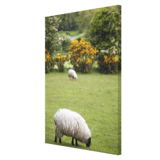 Western Ireland, a full fleeced black-faced Canvas Print