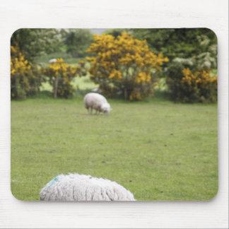 Western Ireland, a full fleeced black-faced Mousepads