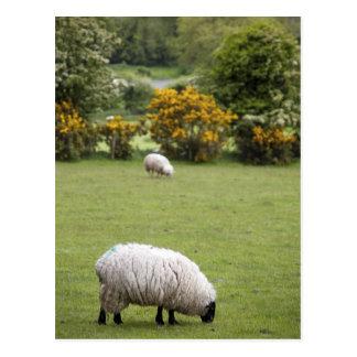 Western Ireland, a full fleeced black-faced Post Card