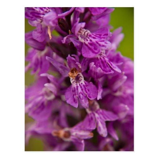 Western Marsh Orchid DSC1883 Postcard