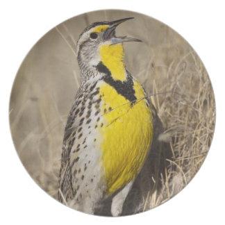 Western Meadowlark (Strunella neglecta) in Dinner Plate